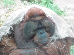 A very friendly orangutuan