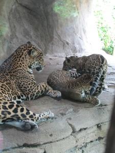 Baby jaguars wrestling