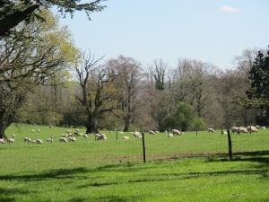 Downton Abbey sheep... not to be confused with Stonehenge prehistoric sheep!