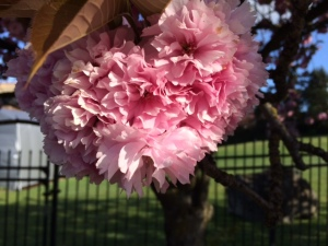 This flowering tree had the most beautiful flowers! No idea what kind of tree it was...