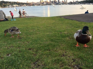 While watching sailboats, I got friendly with a couple of ducks...
